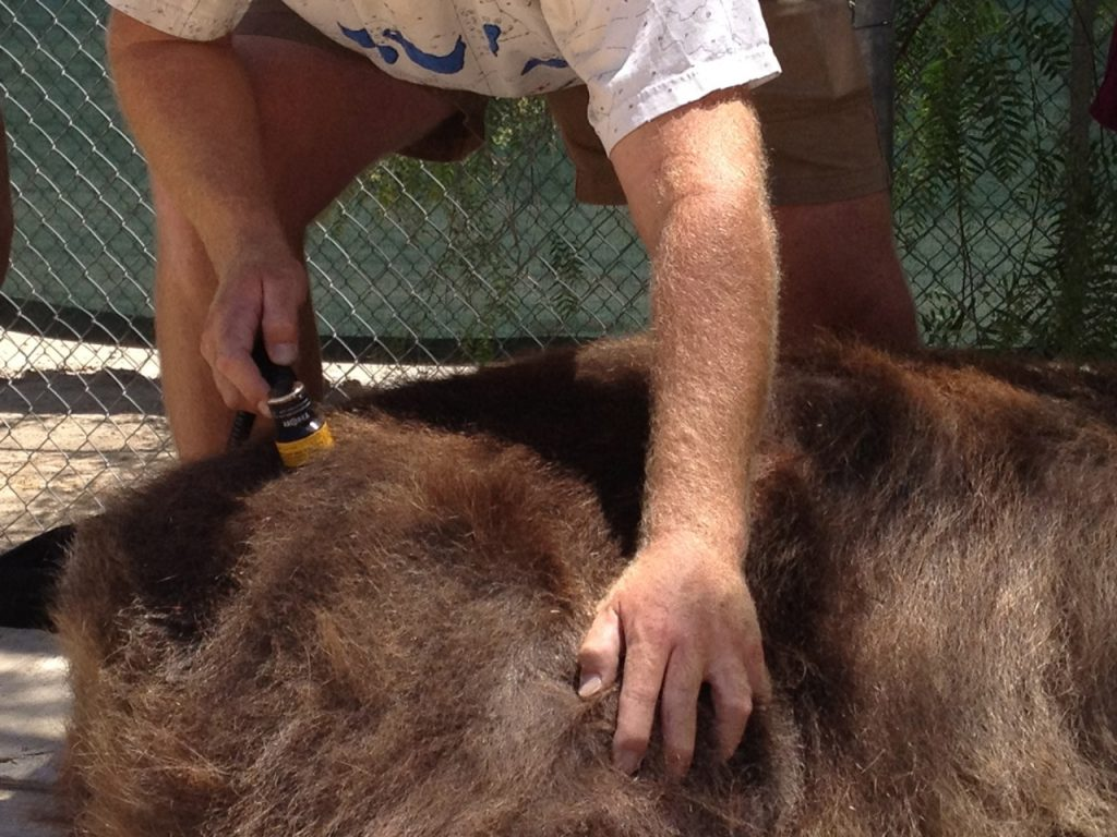 Cougar Treated With Thor Low Level Laser Therapy Lllt By